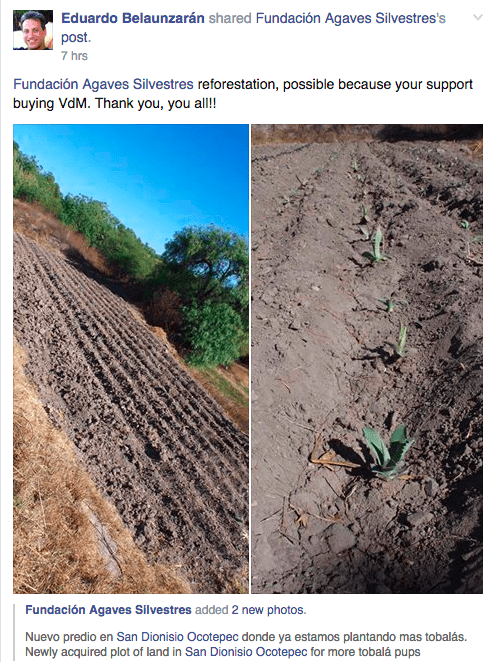 A screen shot of Eduardo Belaunzarán's Facebook update showing Fundación Agaves Silvestres's effort at cultivating tobala hiuelos in the Oaxacan valley