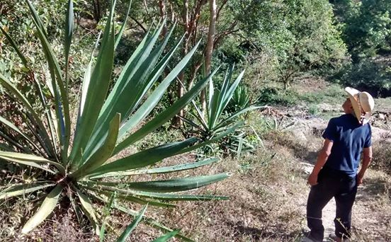 Clayton Szczech admires what may be an amarillo agave in western Jalisco.