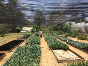 An agave reforestation project in Santa Catarina Minas which grows a variety of local agave, especially the native karwinski variations.