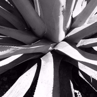 The sustainability series: cultivating wild maguey