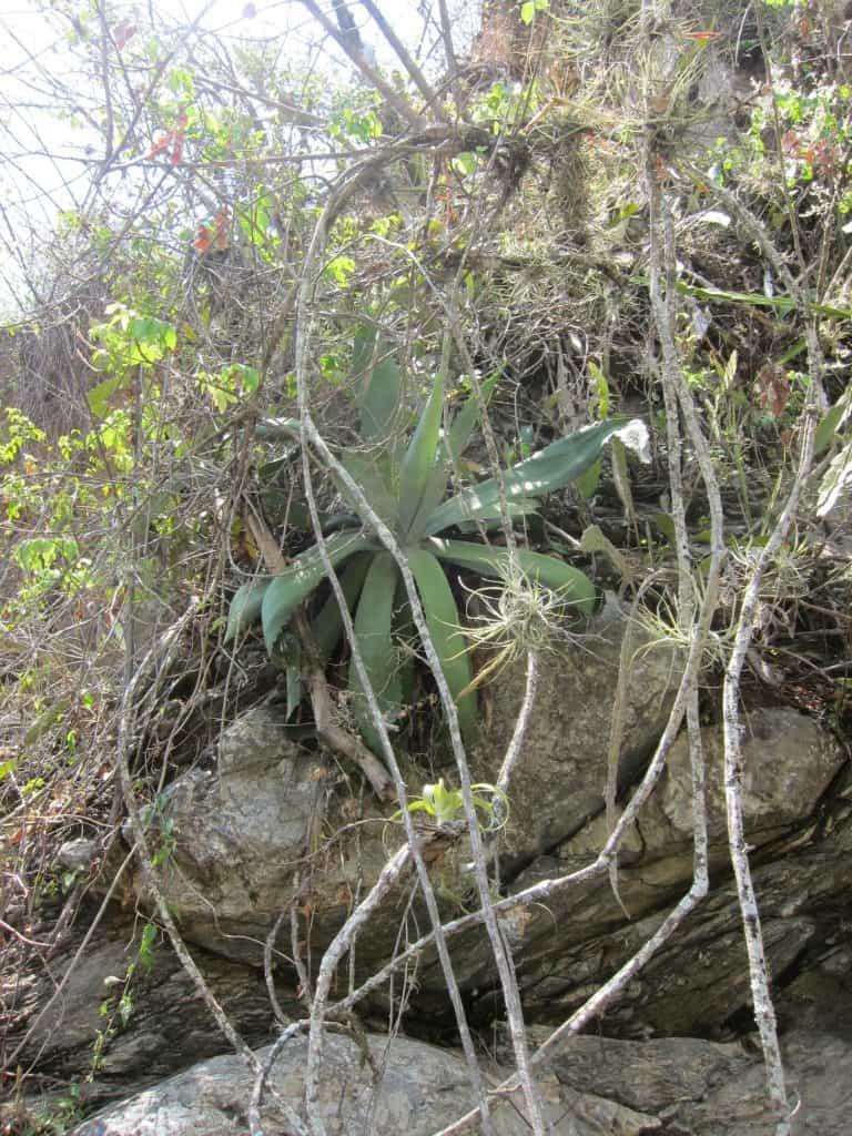 A truly wild, aka silvestre, agave.
