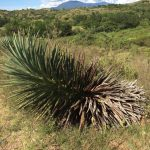 The ancient agave in the field.