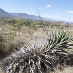 One of the ancient agave plants.