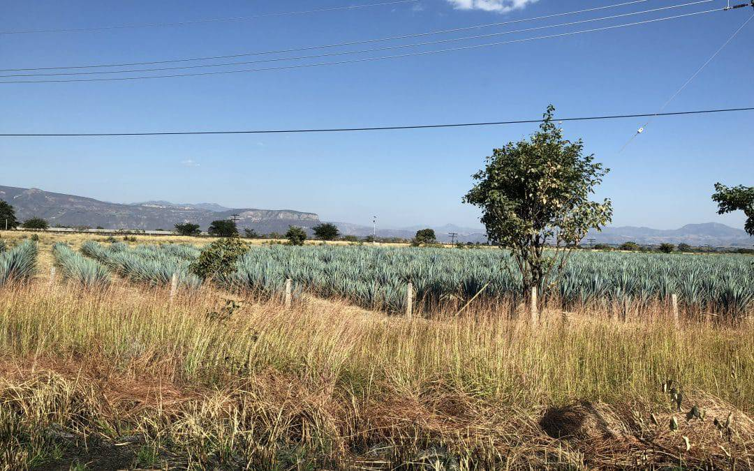 What's a fair price for agave? Tequila edition
