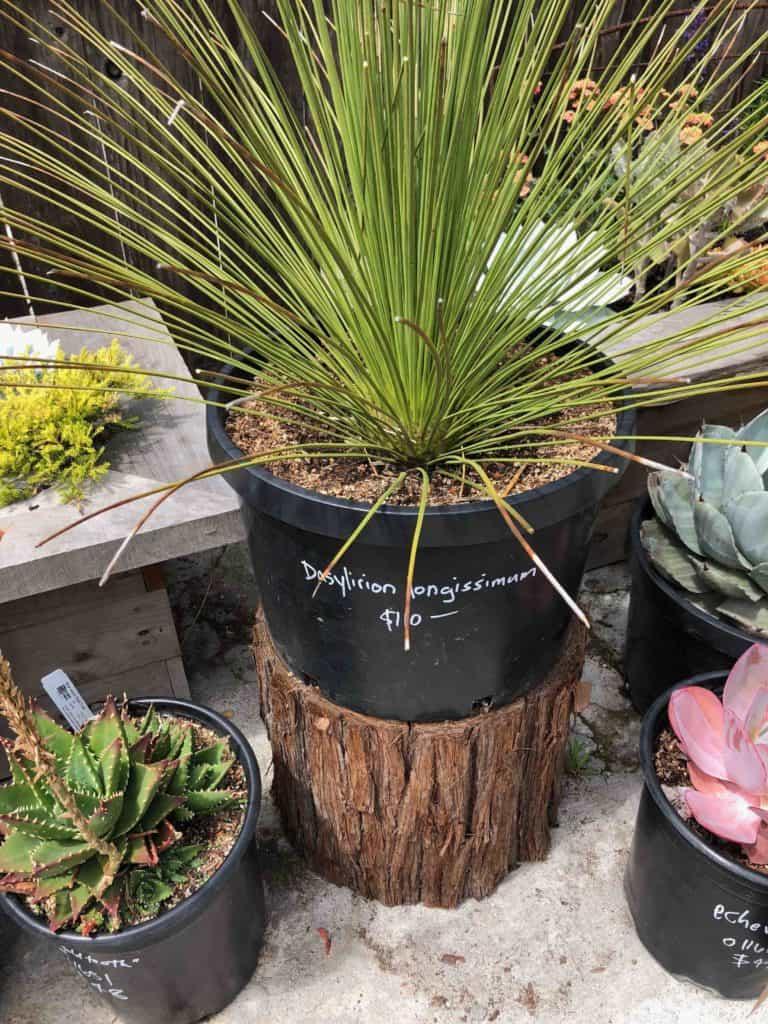 A sotol plant for sale