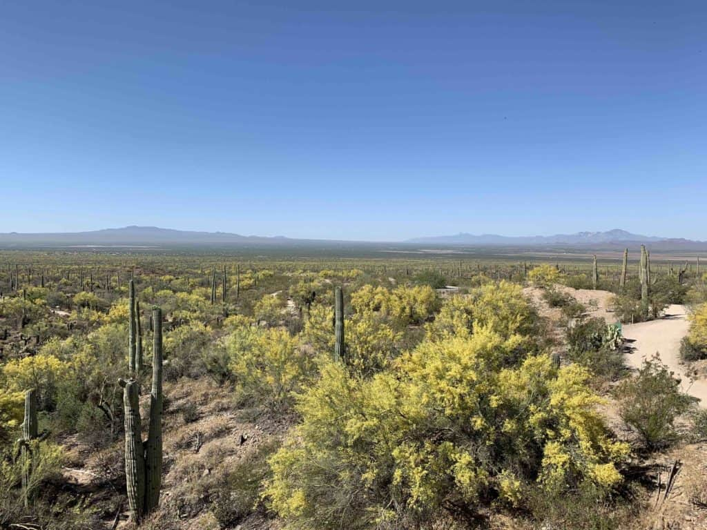 Vista of saguaro and palo verde