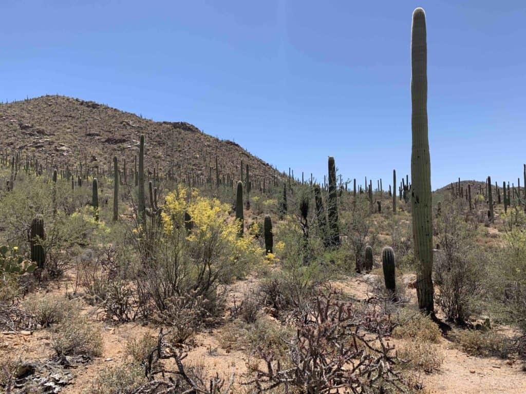 Saguaro catci